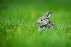 Cute rabbit with flower dandelion sitting in grass. Animal nature habitat, life in meadow. European rabbit or common Stock Photos