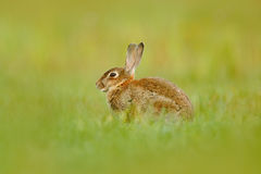 Cute rabbit with flower dandelion sitting in grass. Animal in nature habitat, life in the meadow, Germany. European rabbit or comm Royalty Free Stock Photo