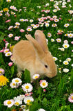 Cute Rabbit in Flowers. A cute red baby rabbit in flowers Royalty Free Stock Image