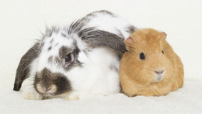 Cute rabbit and a golden guinea pig Stock Image