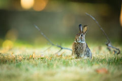 Cute rabbit in grass. Cute wild rabbit in grass Stock Images