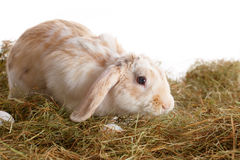 Cute rabbit on the hay Royalty Free Stock Image