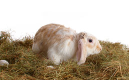 Cute rabbit on the hay Stock Images
