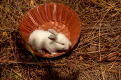 Cute rabbit little bunny. Domestic pet with white fluffy fur in wicker bowl on natural hay background Stock Photo