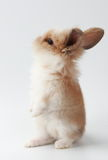 A cute rabbit Royalty Free Stock Images