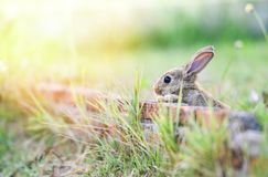 Cute rabbit sitting on brick wall and green field spring meadow / Easter bunny royalty free stock image