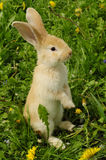 Cute Rabbit Standing on Hind Legs Stock Image