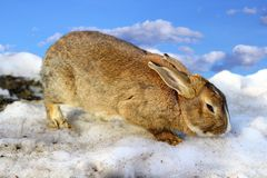 Cute rabbit in the melting spring snow Royalty Free Stock Images