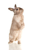Cute rabbit stay on back paws on white Stock Image