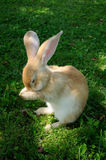Cute Rabbit Washing Its Face Stock Photography