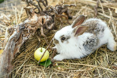Cute rabbit and yellow apple Stock Photo