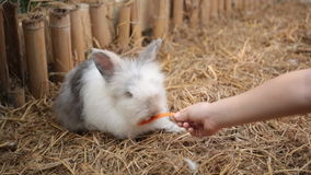 Cute rabbits in a cage eating a carrot . stock video footage