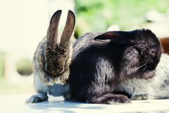 Cute rabbits cleaning face, two fluffy bunny on white green blurred background. Summer sunny day scene. soft focus. Shallow depth of field stock photos