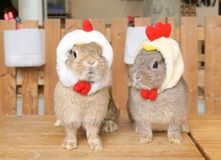 Cute rabbits are dressing up for the Easter wearing the chicken head band, Easter bunny concept. Selective focus on the right bunn royalty free stock images