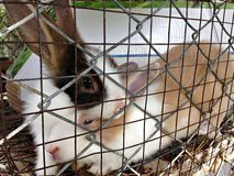Cute rabbits or fluffy rabbits in the cage Stock Image