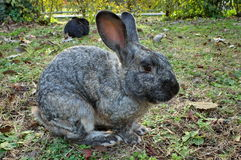 Wild animal. Cute gray rabbit in the garden Stock Photography