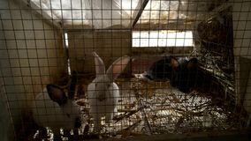 Cute rabbits in hutch. Young domestic bunnies at farm house close up. Breeding rabbits at home stock video