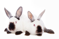 Cute rabbits Royalty Free Stock Photography