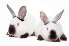 Cute rabbits Stock Photography