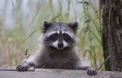 Cute Racoon. A cute racoon, with its paws on the edge of a deck, looks like it is waiting to be served some food Royalty Free Stock Photo