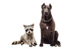 Cute raccoon and dog sitting together Stock Image