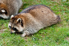 Cute raccoon on green grass Stock Photography