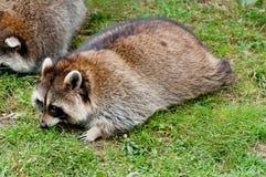 Cute raccoon on green grass Stock Photography