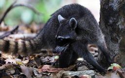 Cute raccoon in the jungle of Costa Rica waiting for food. Wild cute raccoon in the jungle of Costa Rica waiting for food showing teeth Stock Photos