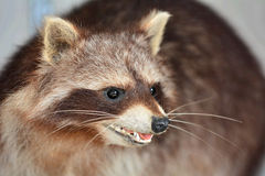 Cute Raccoon. Look in the cam stock photography