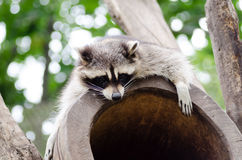 Cute raccoon resting on the top of tree house stock images