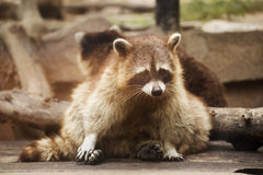 Cute raccoon Royalty Free Stock Photography