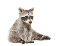 Cute raccoon Royalty Free Stock Images