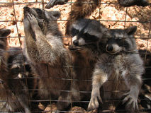 Cute raccoons behind grating eating with paws out. Cute excited raccoons behind grating eating with paws and nose out Stock Images