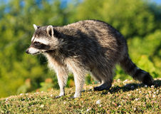 Cute Racoon Stock Photography