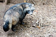 Cute racoon dog on ground at zoo Stock Image