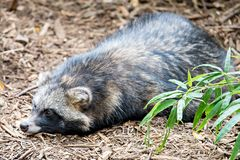 Cute racoon dog on ground at zoo Royalty Free Stock Images