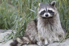 Cute racoon. Is posing to me Royalty Free Stock Images