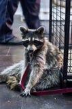 Cute racoon at zoo royalty free stock photos
