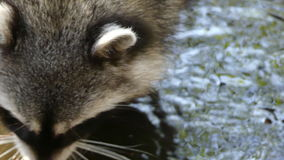 Cute racoon washing paws stock footage