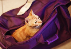 Cute rad cat in the violet bag Stock Photos