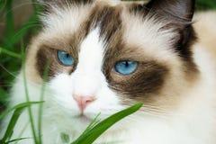 Cute Ragdoll Cat in Grass Stock Photo