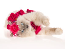 Cute Ragdoll cat with pink frilly dress Stock Image