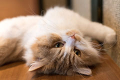 Cute ragdoll cat stretching on its back Royalty Free Stock Photography