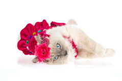 Cute Ragdoll cat wearing pink frilly dress royalty free stock image