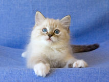 Cute Ragdoll kitten on blue background Stock Image