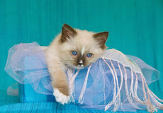 Cute Ragdoll kitten in box with fabric Stock Image