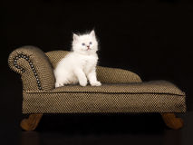 Cute Ragdoll kitten on brown chaise. Pretty and cute 5 week old Ragdoll kitten on miniature chaise sofa on black background royalty free stock images
