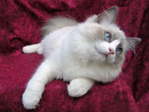 Cute Ragdoll kitten on burgundy background Royalty Free Stock Photos