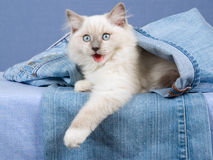 Cute Ragdoll kitten, in denim jeans Stock Image
