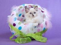 Cute Ragdoll kitten in Easter Egg Stock Images